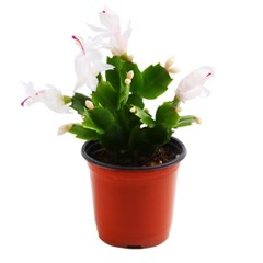 미미네가든 게발선인장(화이트) 1포트 - 공기정화식물_(1281149)