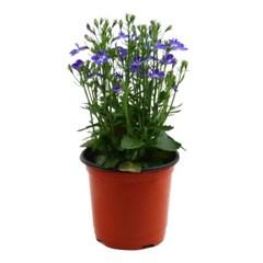 미미네가든 로벨리아 1포트 -공기정화식물 거실화분_(1281136)