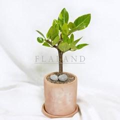 플라랜드 실내공기정화 개업식물 가지뱅갈고무나무 테라코타토분