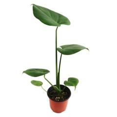 미미네가든 몬스테라 (소) 1포트 - 공기정화식물_(1297577)