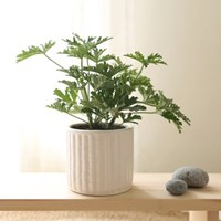 [plant] 천연모기향효과 허브 구문초 식물화분set_(983244)