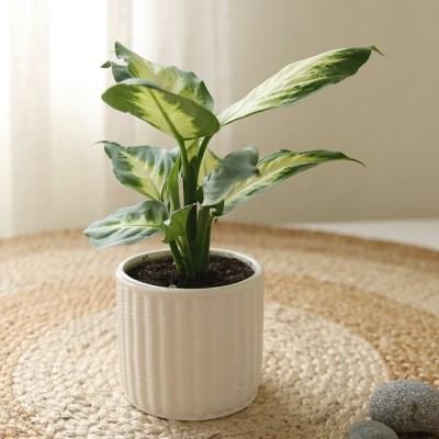 [plant] 새집증후군에효과 마리안느 식물화분set_(983243)