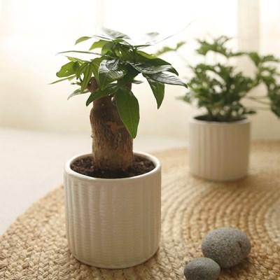 [plant] 행복한우리집 파키라 식물화분set_(983242)
