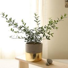[plant] 생화 올리브나무 골드화분set_(983239)