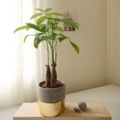 [plant] 공기정화식물 파키라 골드식물화분set_(983237)
