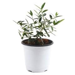 미미네가든 올리브나무 1포트 -  거실화분 반려식물_(1298732)