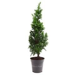 미미네가든 미니 편백나무 화분 1포트 - 피톤치드_(1298731)
