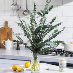 (생화)공기정화 식물 유칼립투스 블랙잭 1단
