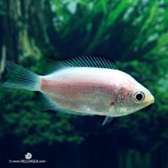 열대어)키싱 구라미 2마리-뽀뽀하는 관상용 애완물고기