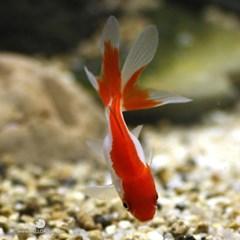 열대어)금붕어(소) 5마리-수족관 관상용 애완물고기