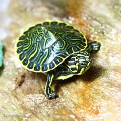 거북이)쿠터 수생거북이 1마리-애완 관상용 수생