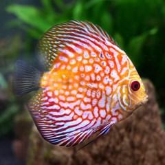 열대어)피존 디스커스-수족관 관상용 애완물고기