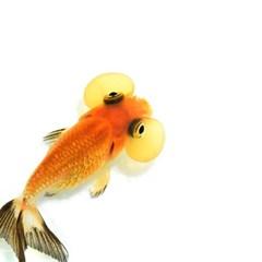 열대어)수포안 금붕어 1마리-수족관 관상용 애완물고기