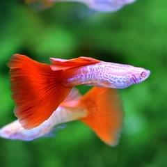 열대어)레드테일 코브라 구피 1쌍-수족관 관상용 애완물고기