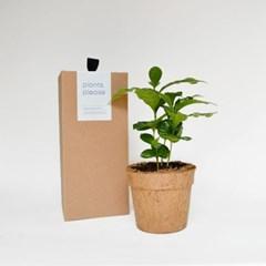 코코넛화분+선물박스 커피 마니아를 위한 식물키우기_커피나무