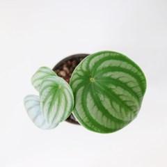 공기정화 식물 수박페페