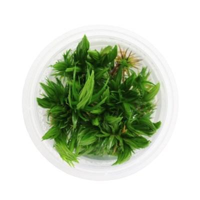 무균 조직 배양수초 - 토니나 sp