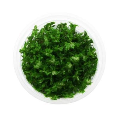 무균 조직 배양수초 - 미니 암브리아