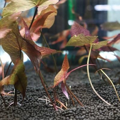 님파루브라 1촉 (3~4잎)