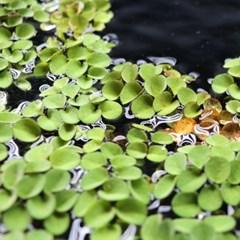 부상수초 살바니아 쿠쿠라타(10~15잎)