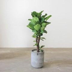 [실내공기정화/개업식물] 떡갈고무나무