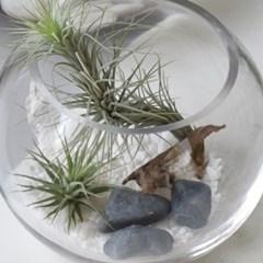 틸란드시아 테라리움 푼키아나 이오난사 공중 먼지 먹는 식물