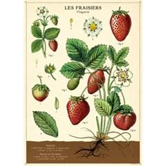 카발리니 포스터-Strawberries