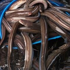 국내산 자연산 통영 바다장어 구이용1kg 대 (2~4미)