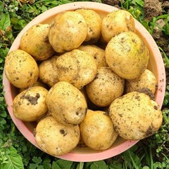 [남도장터]금화영농 본격수확 노지 햇 감자 3kg (중)