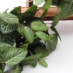 휘토니아 잎부쉬