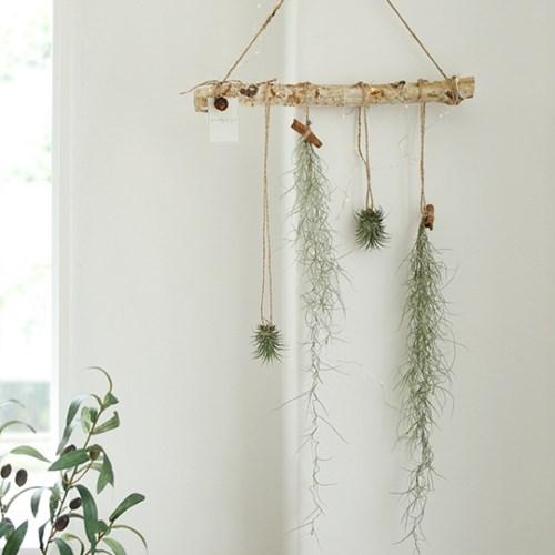 공기정화식물 - 틸란드시아 행잉플랜드set_(590237)