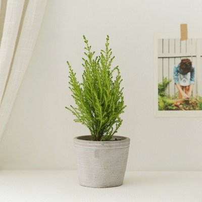 [plant] 싱그러운 율마 식물화분set_(637396)
