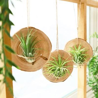 먼지 먹는 식물 틸란드시아 낙엽송 행잉플랜트