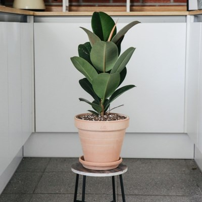 멜라닌 고무나무