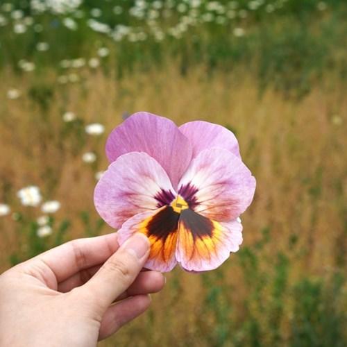팬지 카드 Ver.2 Pansy Flower Card