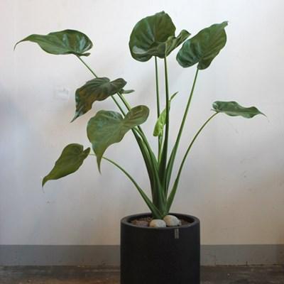 [브라더가든]실내관엽식물/공기청정나무 하트 알로카시_(1361289)