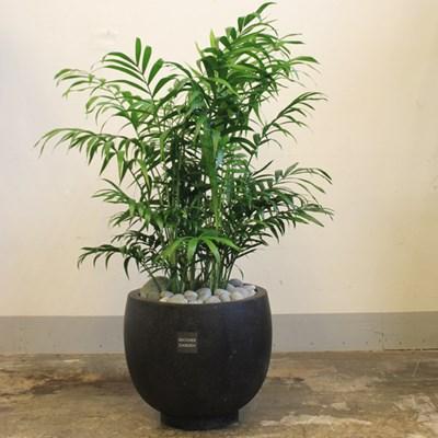 [브라더가든/전국배송가능]거실에 좋은 식물 테이블야자_(1361257)