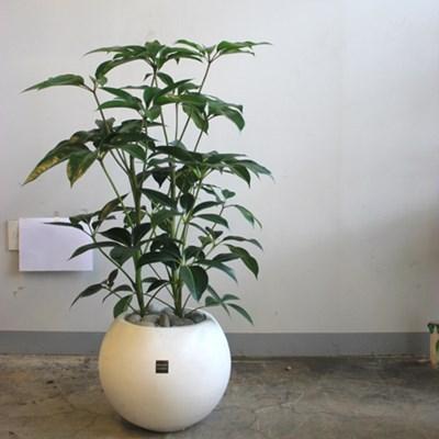 [브라더가든]관엽화분/새집증후군식물 대엽홍콩_(1360481)