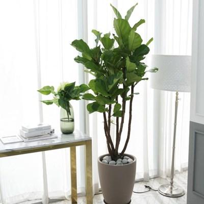 2M 특대형 떡갈고무나무