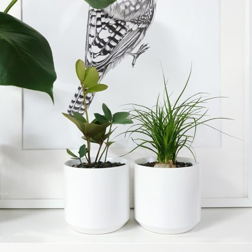 white-키우기 쉬운 감성식물