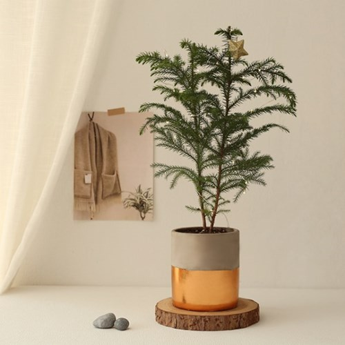 [plant] 아라우카리아 생화 크리스마스트리장식_(684308)