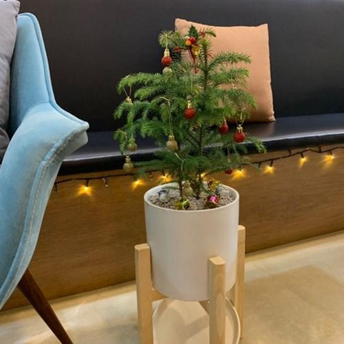 플라랜드 겨울 크리스마스 트리나무_ 아라우카리아(우드다리포함)