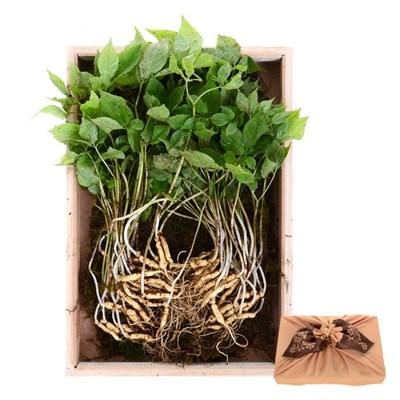 하늘나리 2-3년근 야생 새싹삼 50뿌리 명절 선물세트