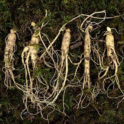 자연그대로키운 하늘나리 5-6년근 장뇌삼 5뿌리 명절선물세트