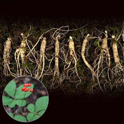자연그대로키운 하늘나리 5-6년근 장뇌삼 10뿌리 명절선물세트