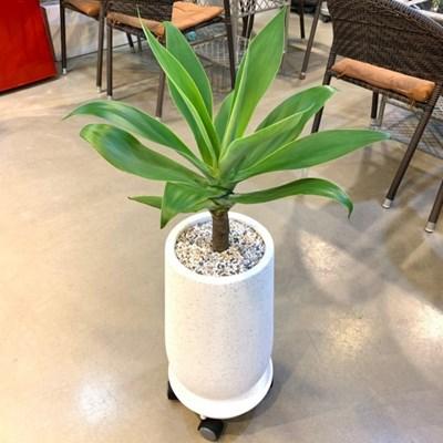 플라랜드 인기화분! 공기정화식물 아가베아테누아타!