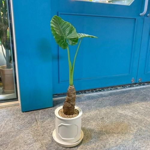 플라랜드 신상 공기정화식물 중형 알로카시아 무늬화분
