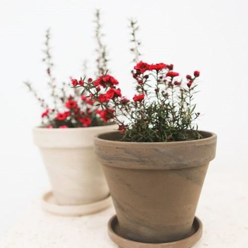 아마란스 공기정화 식물 호주매화 독일 토분 세트