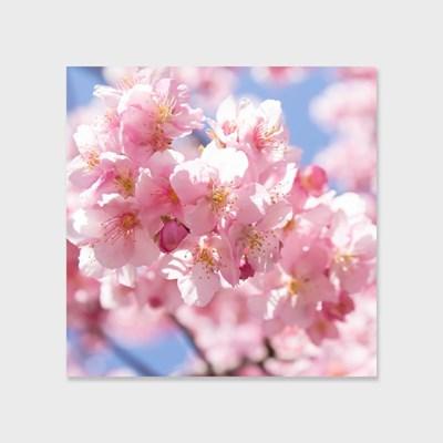 영원히 지지 않는 벚꽃 인테리어 에디션 no.01