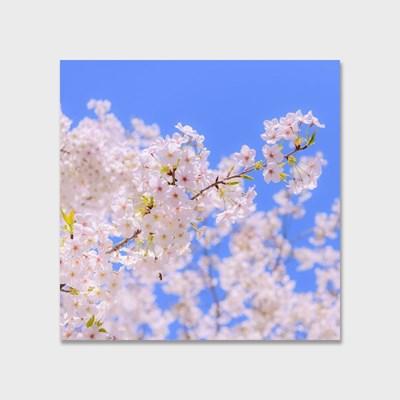 영원히 지지 않는 벚꽃 인테리어 에디션 no.05